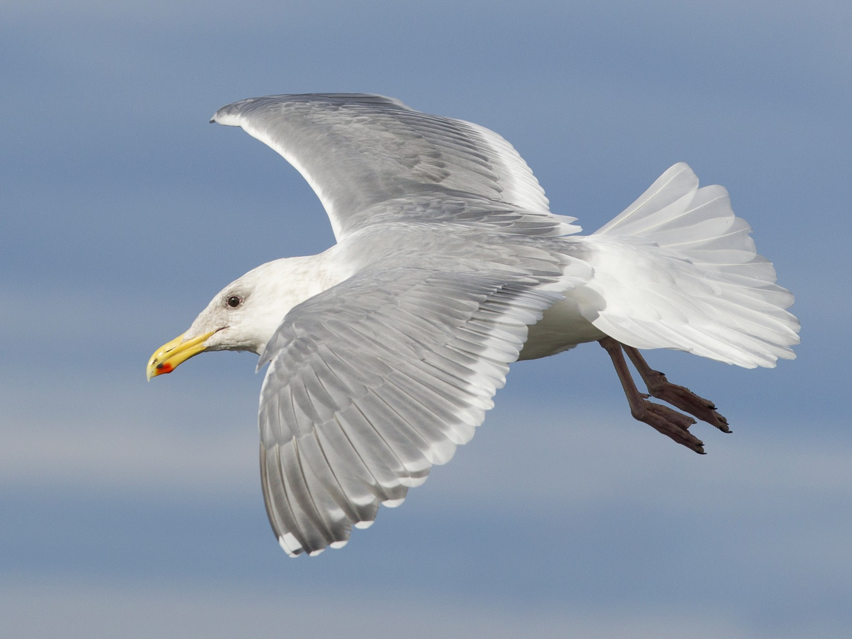 Glaucous-winged Gull - Jeffrey Moore