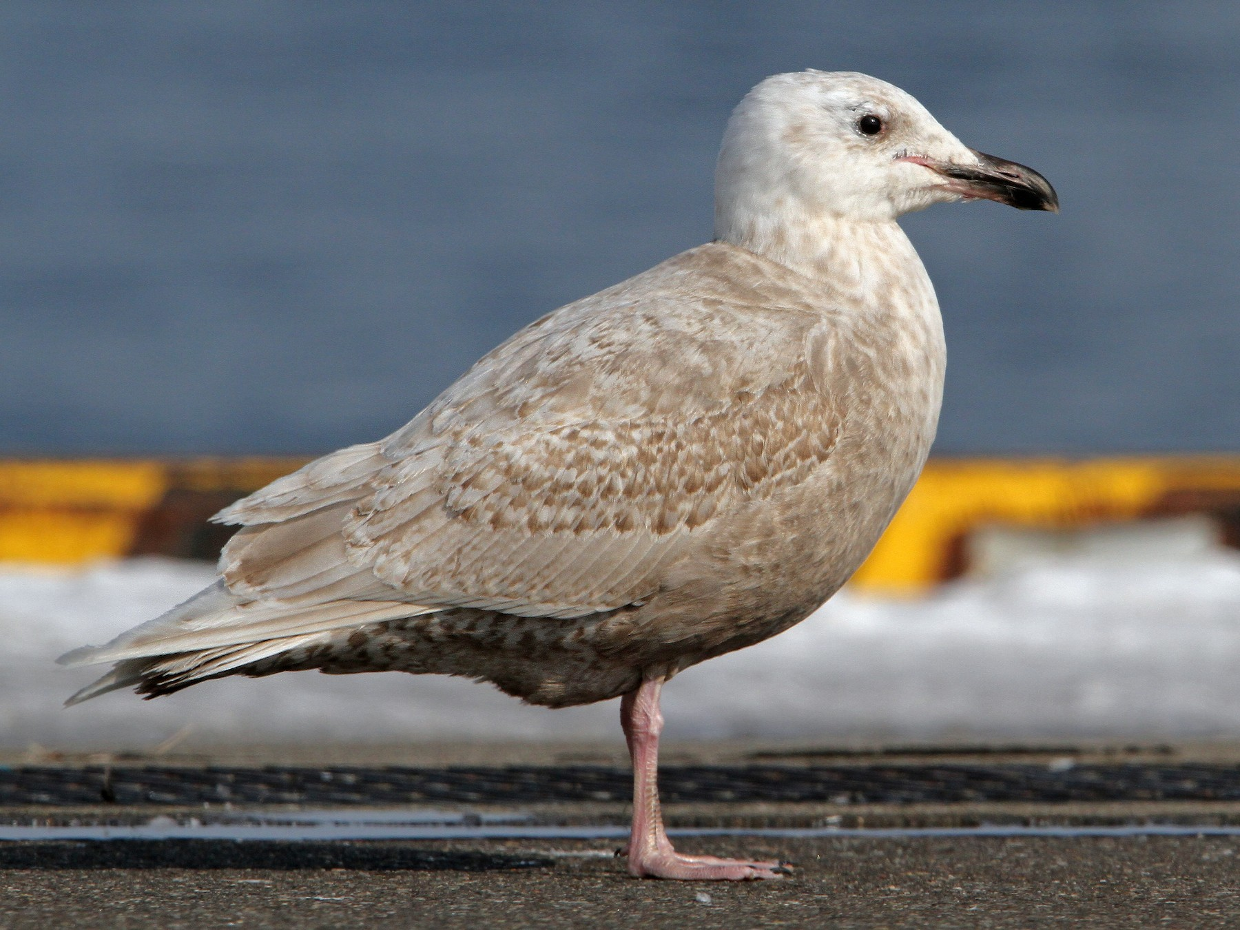 Glaucous-winged Gull - Christoph Moning