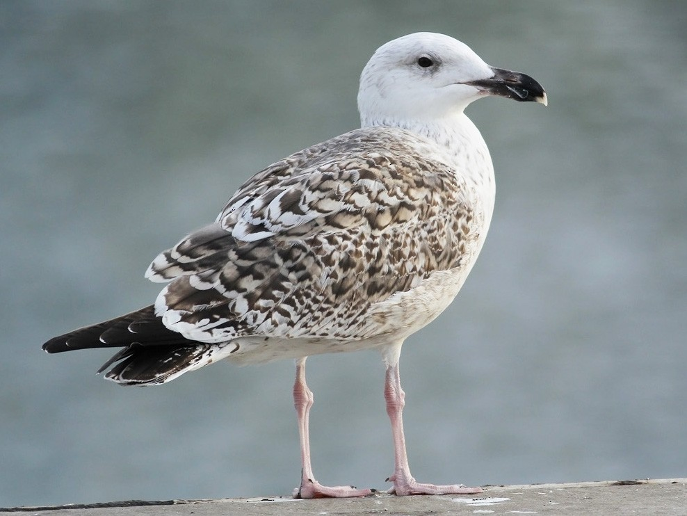 Great Black-backed Gull - Adrien Mauss