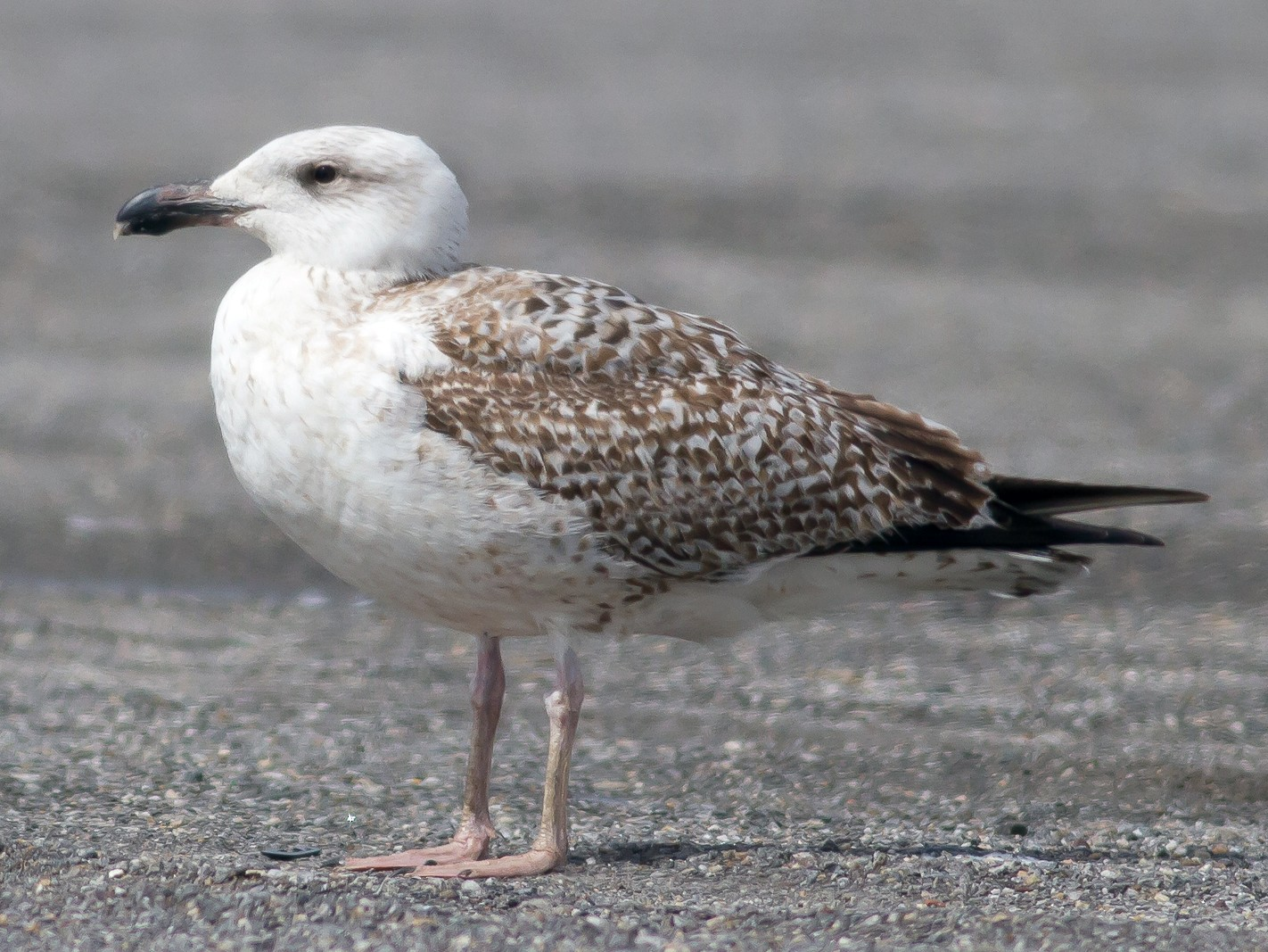 Great Black-backed Gull - Nick Pulcinella