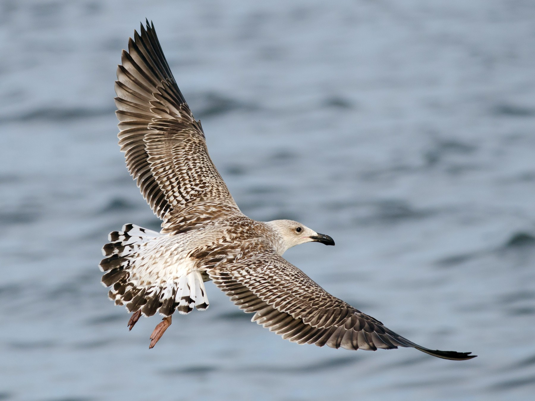 Great Black-backed Gull - Alix d'Entremont
