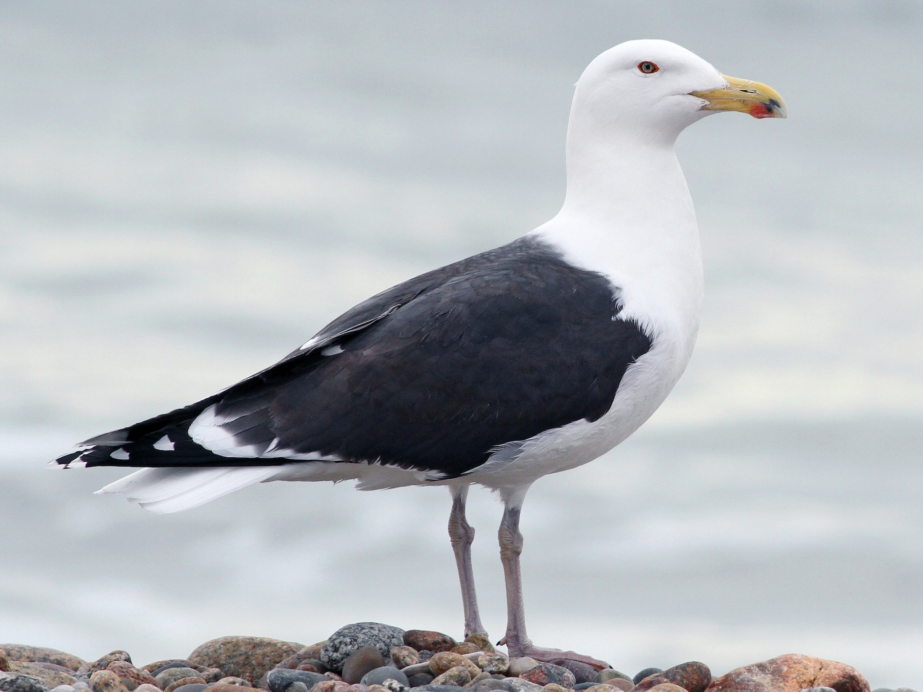 Great Black-backed Gull - Evan Lipton