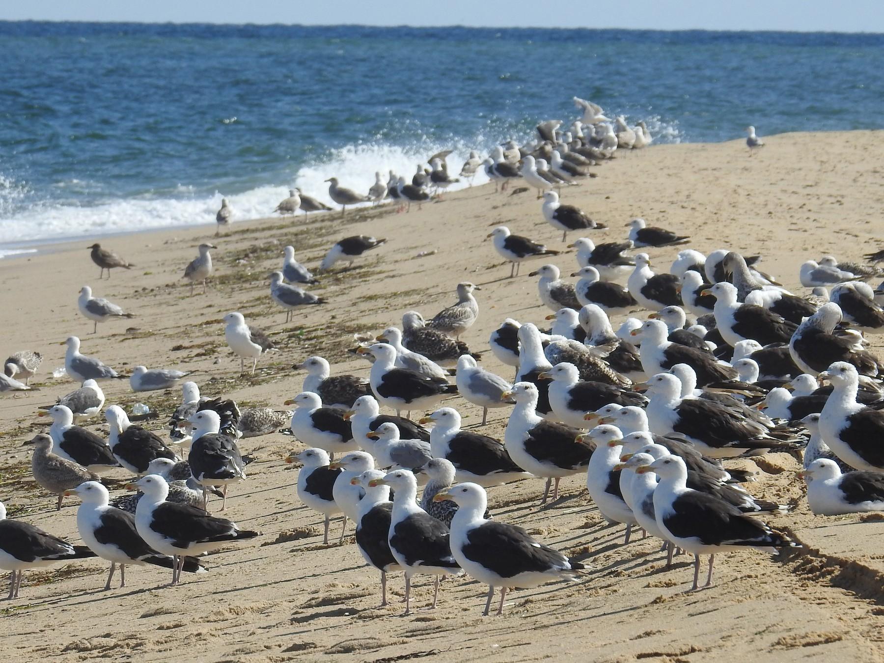 Great Black-backed Gull - Carol Molander