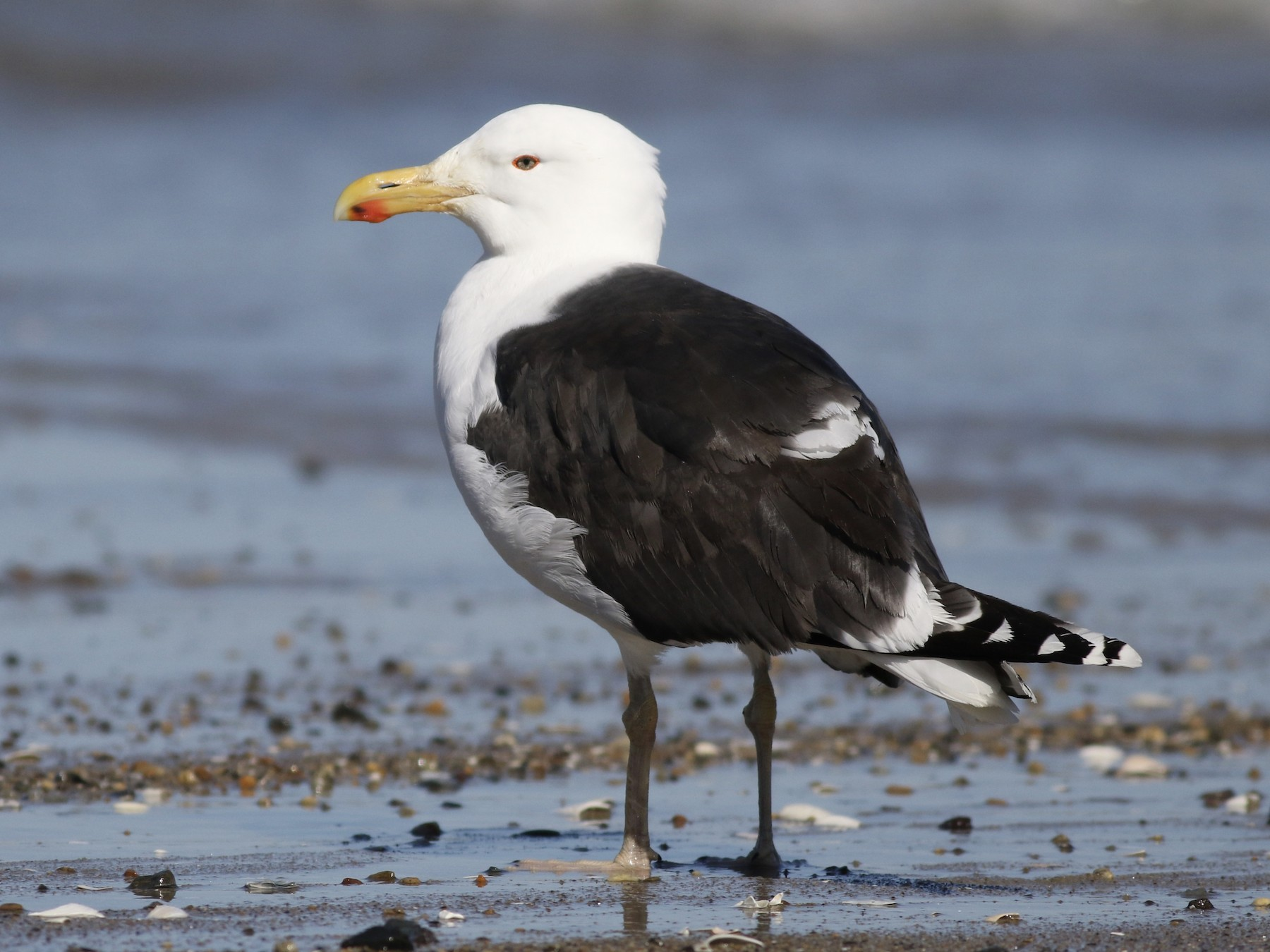 Great Black-backed Gull - Max McCarthy