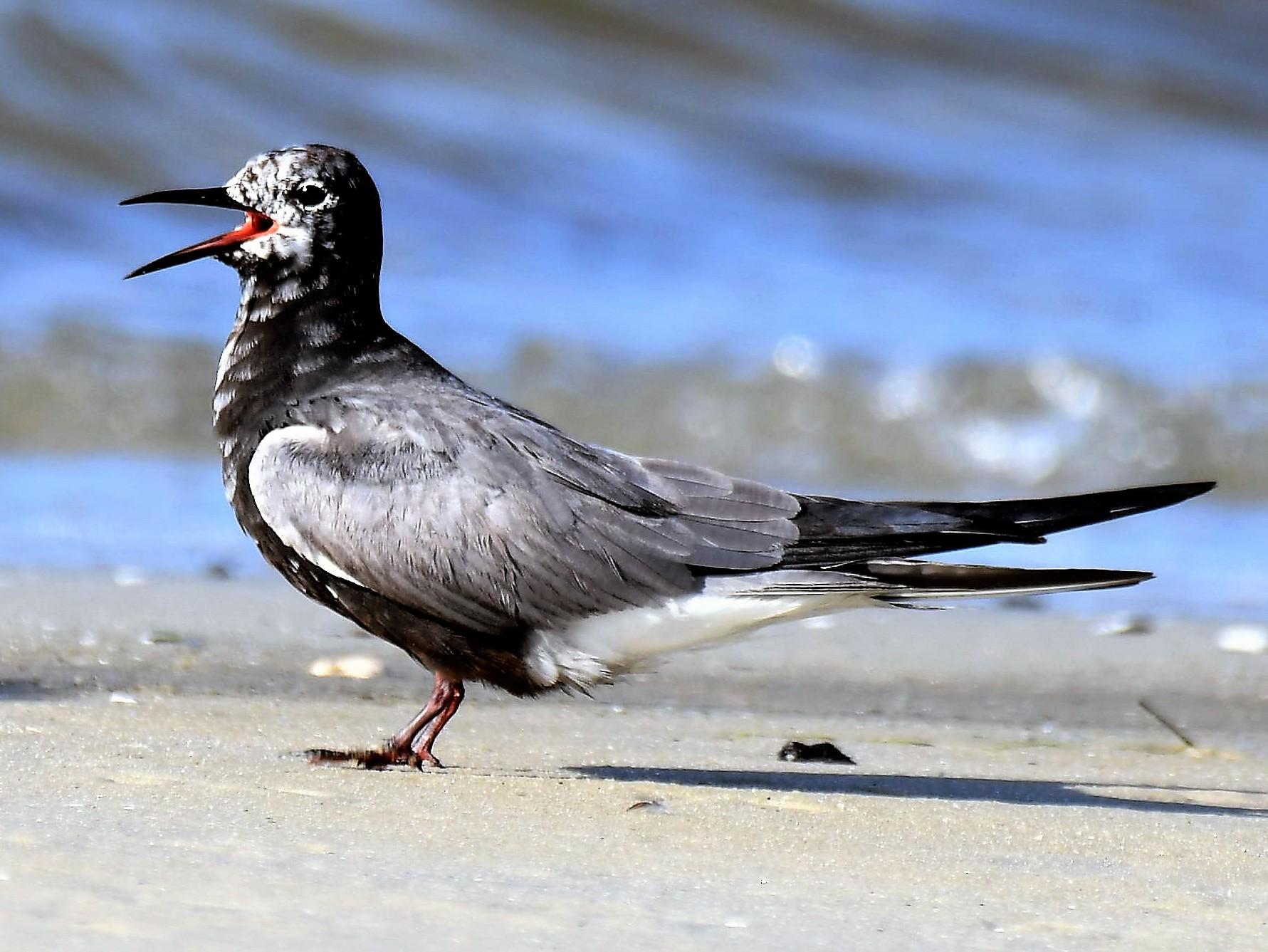 Black Tern - Bruce Cochrane