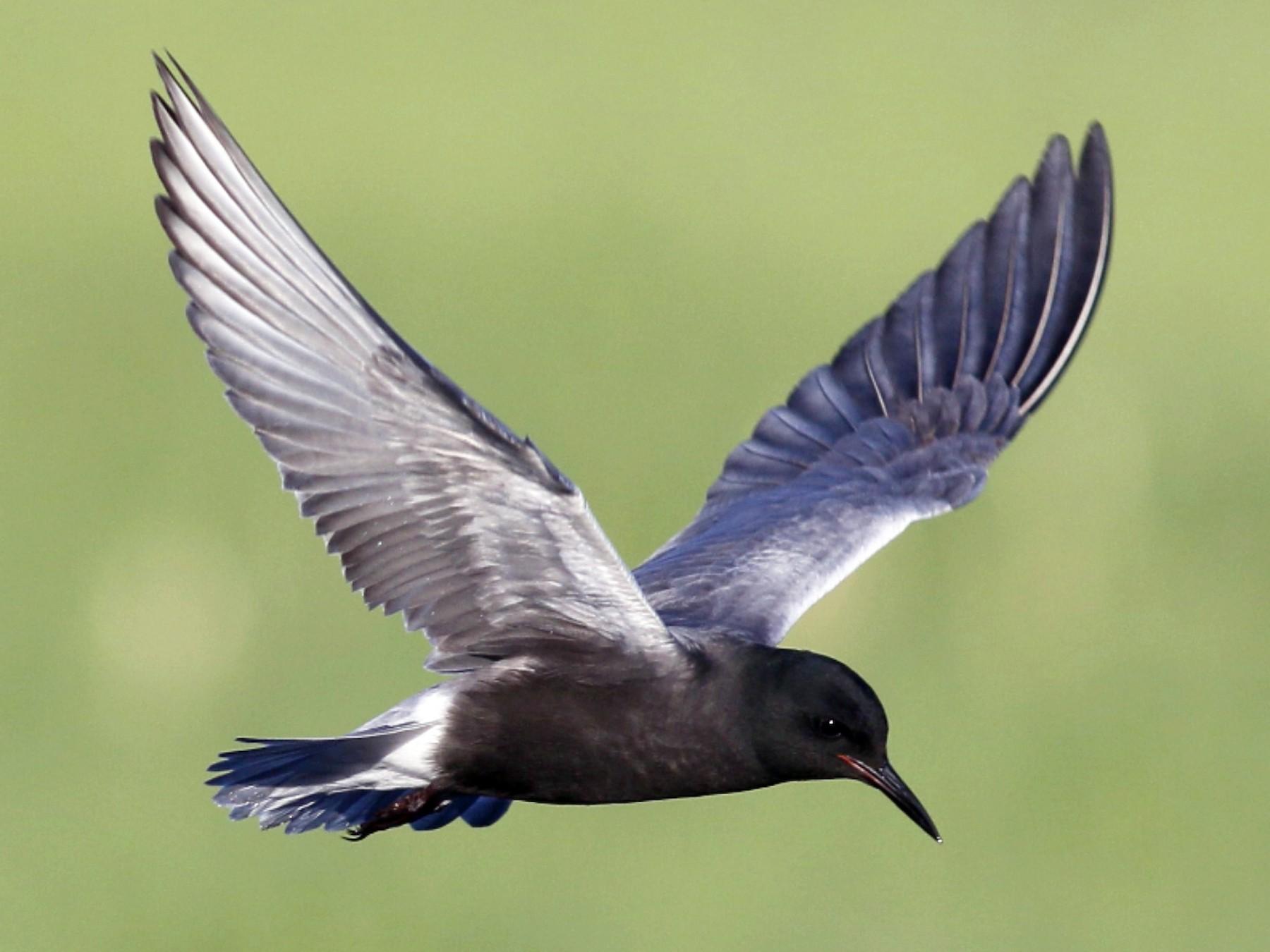 Black Tern - John Sullivan