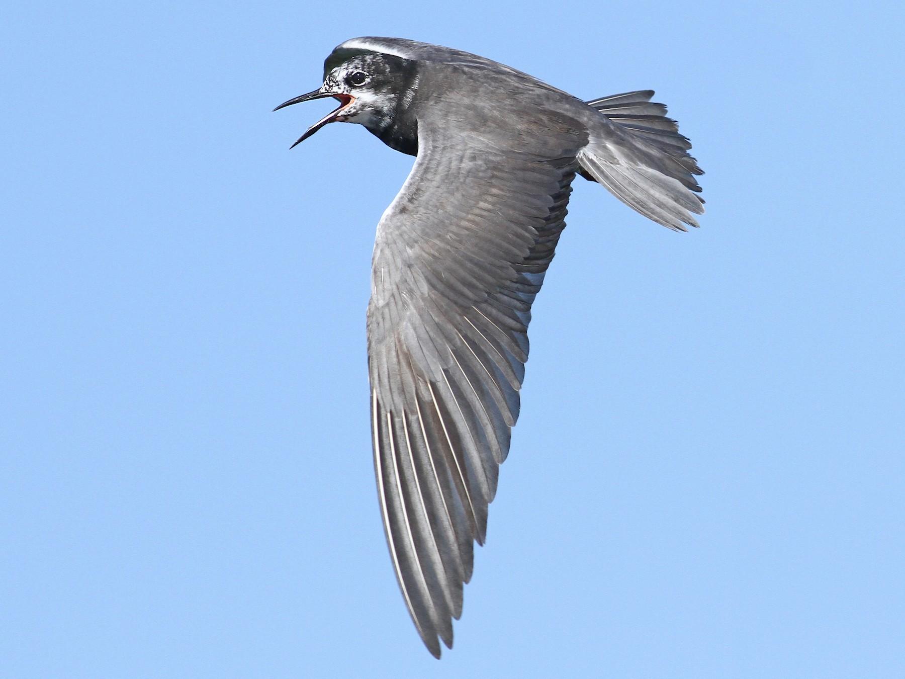 Black Tern - Luke Seitz