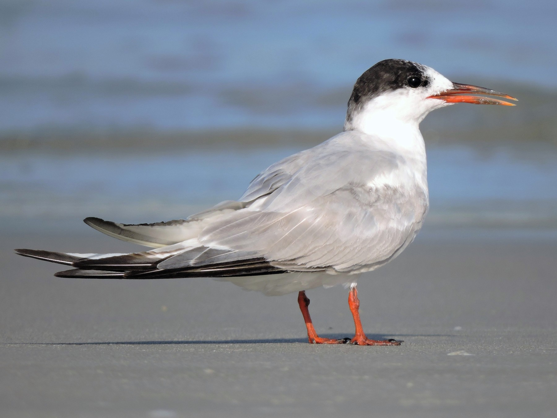 Common Tern - S. K.  Jones
