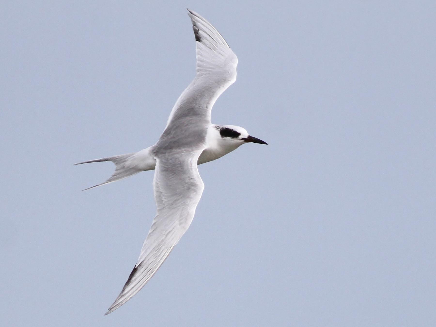 Forster's Tern - Alex Lamoreaux