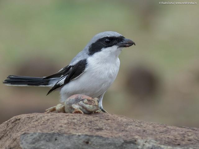 Great Gray Shrike (Indian) ML71357081