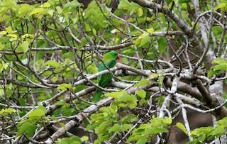 - Azure-rumped Parrot