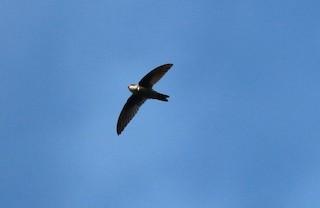 - Sulawesi Swiftlet