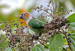 - White-necked Parakeet