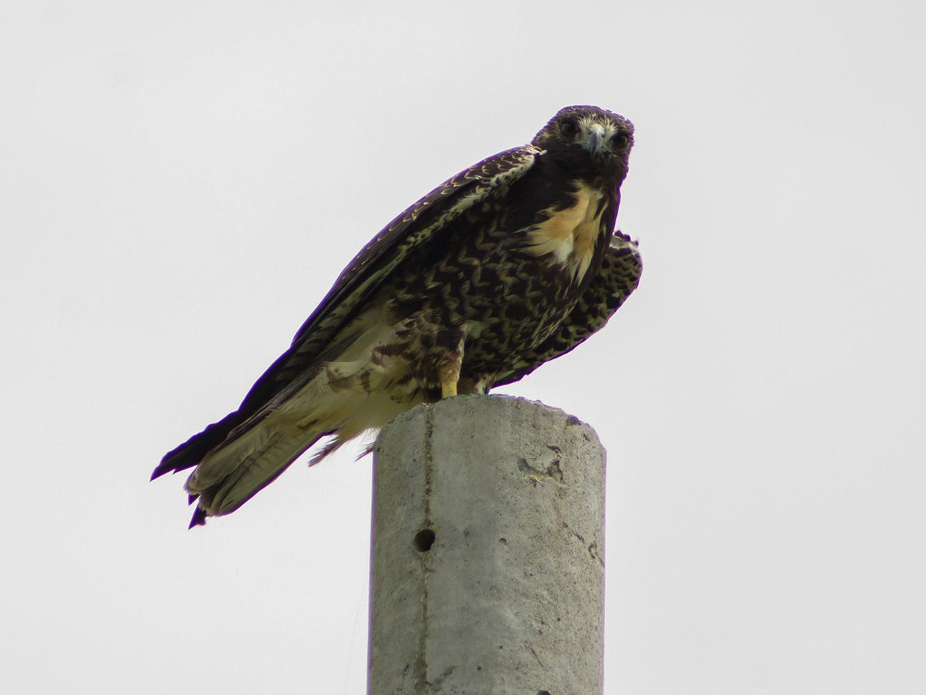 White-tailed Hawk - Fabian Cano  www.birdinksas.com
