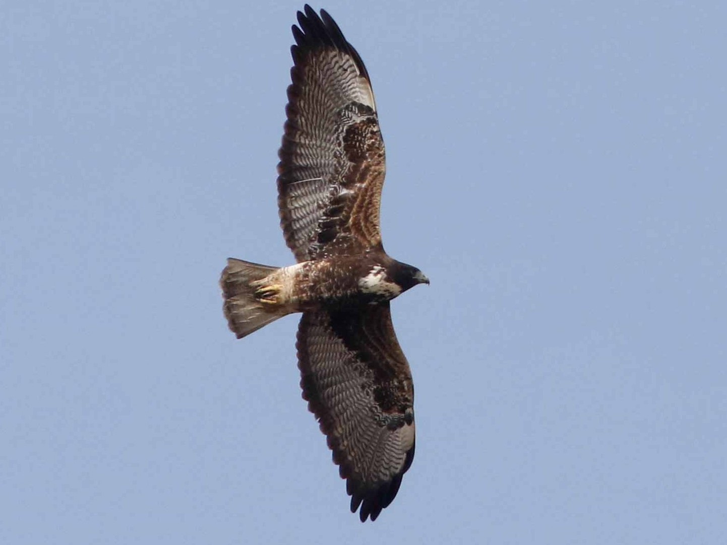 White-tailed Hawk - Byron Stone