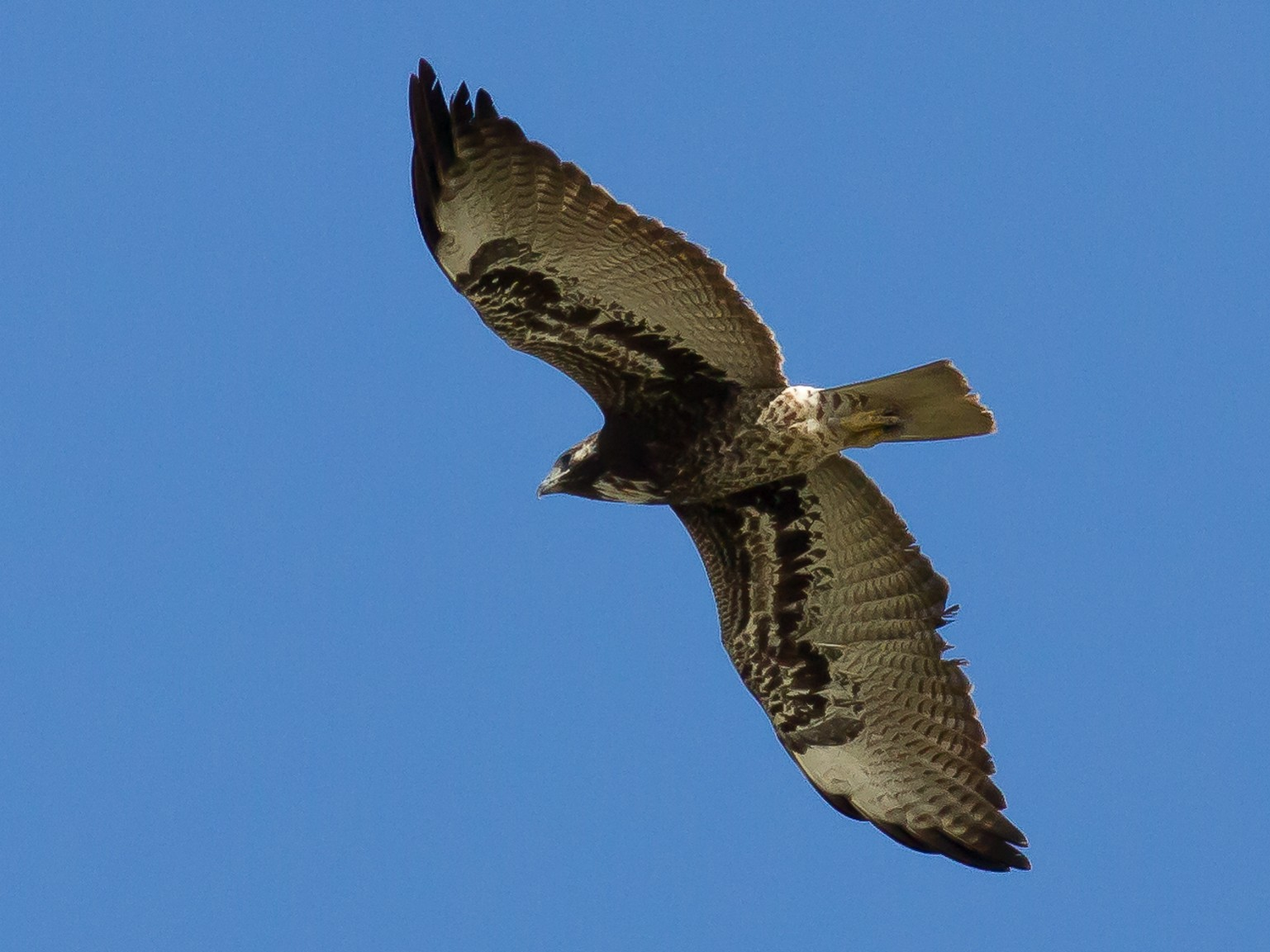 White-tailed Hawk - Nick Pulcinella
