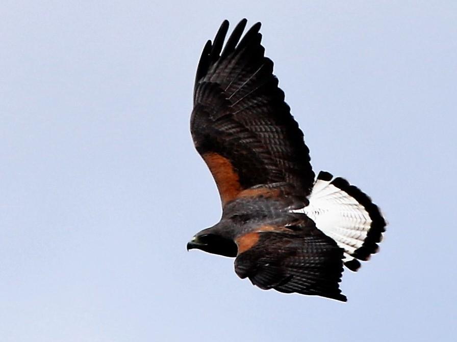 White-tailed Hawk - Madeleine Sandefur