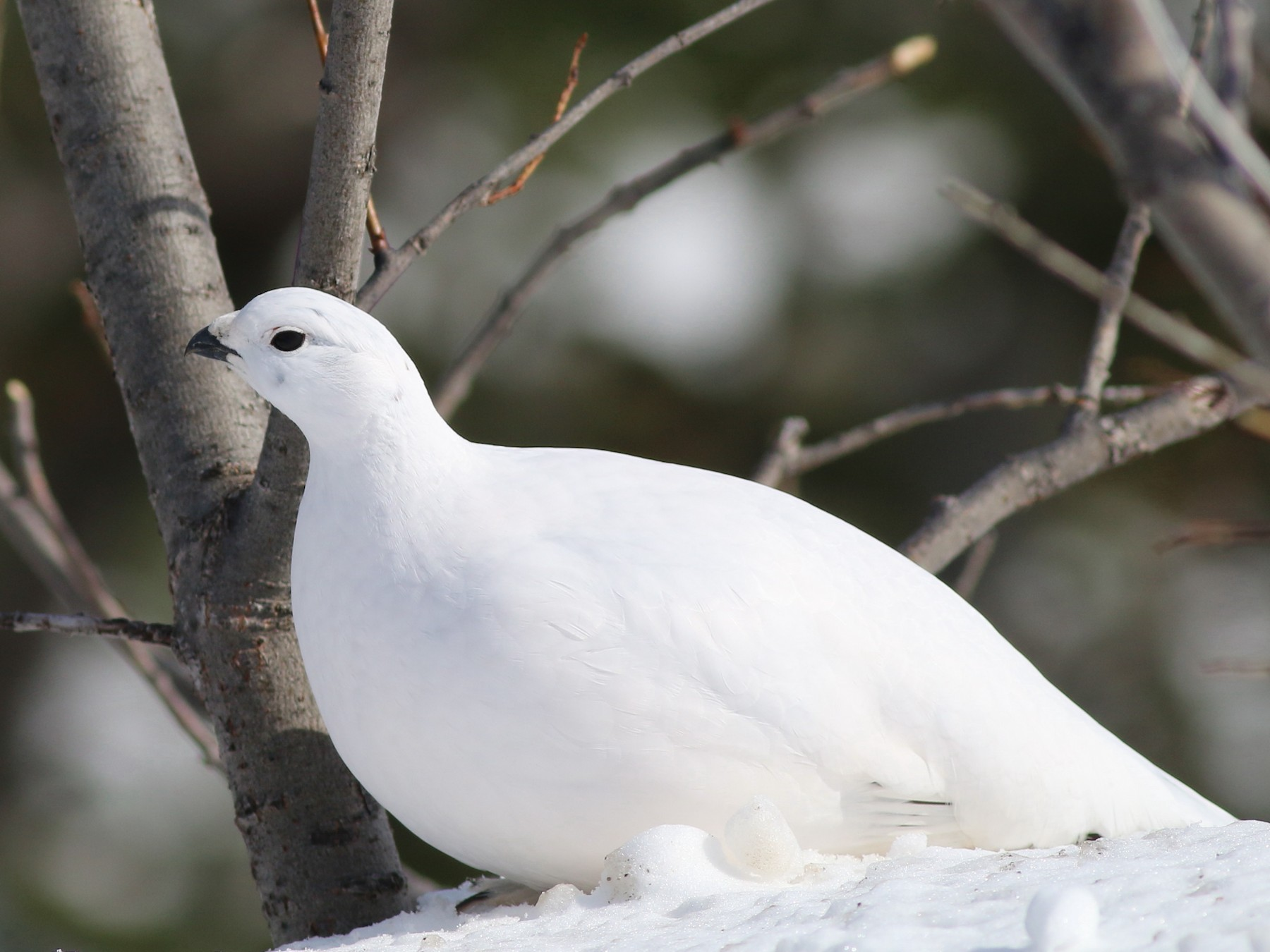 Willow Ptarmigan - John & Ivy  Gibbons