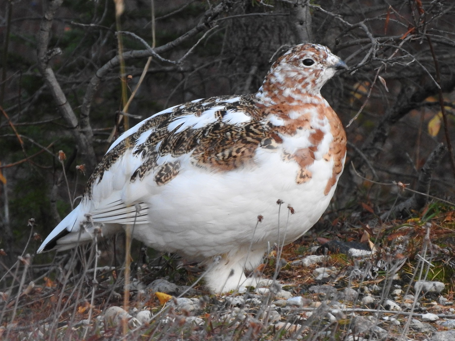 Willow Ptarmigan - France Desbiens