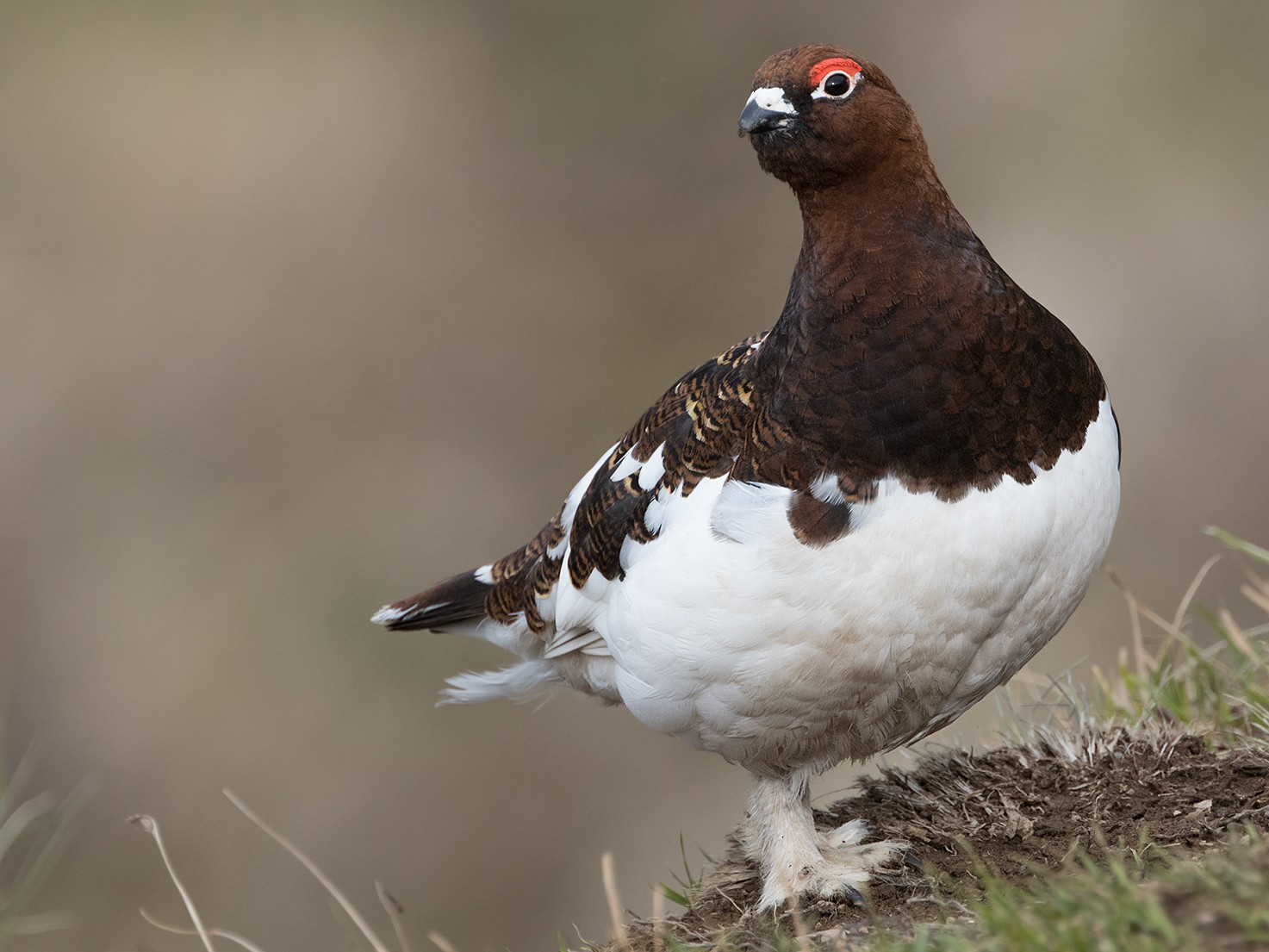 Willow Ptarmigan - Zak Pohlen