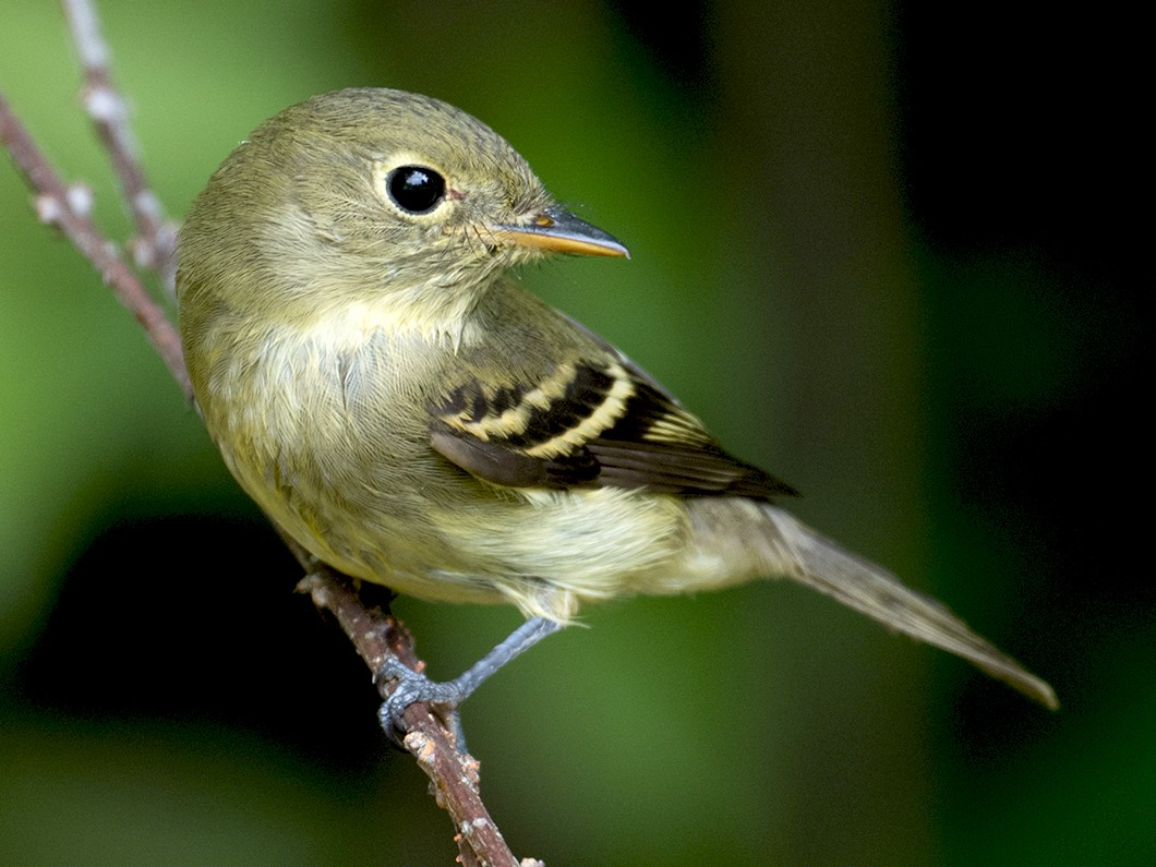 Yellow-bellied Flycatcher - Sue Barth