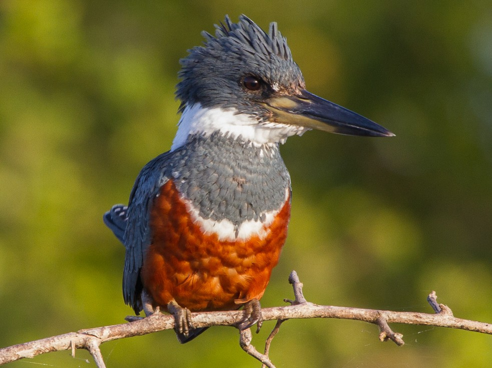 Ringed Kingfisher - Brad Dawson