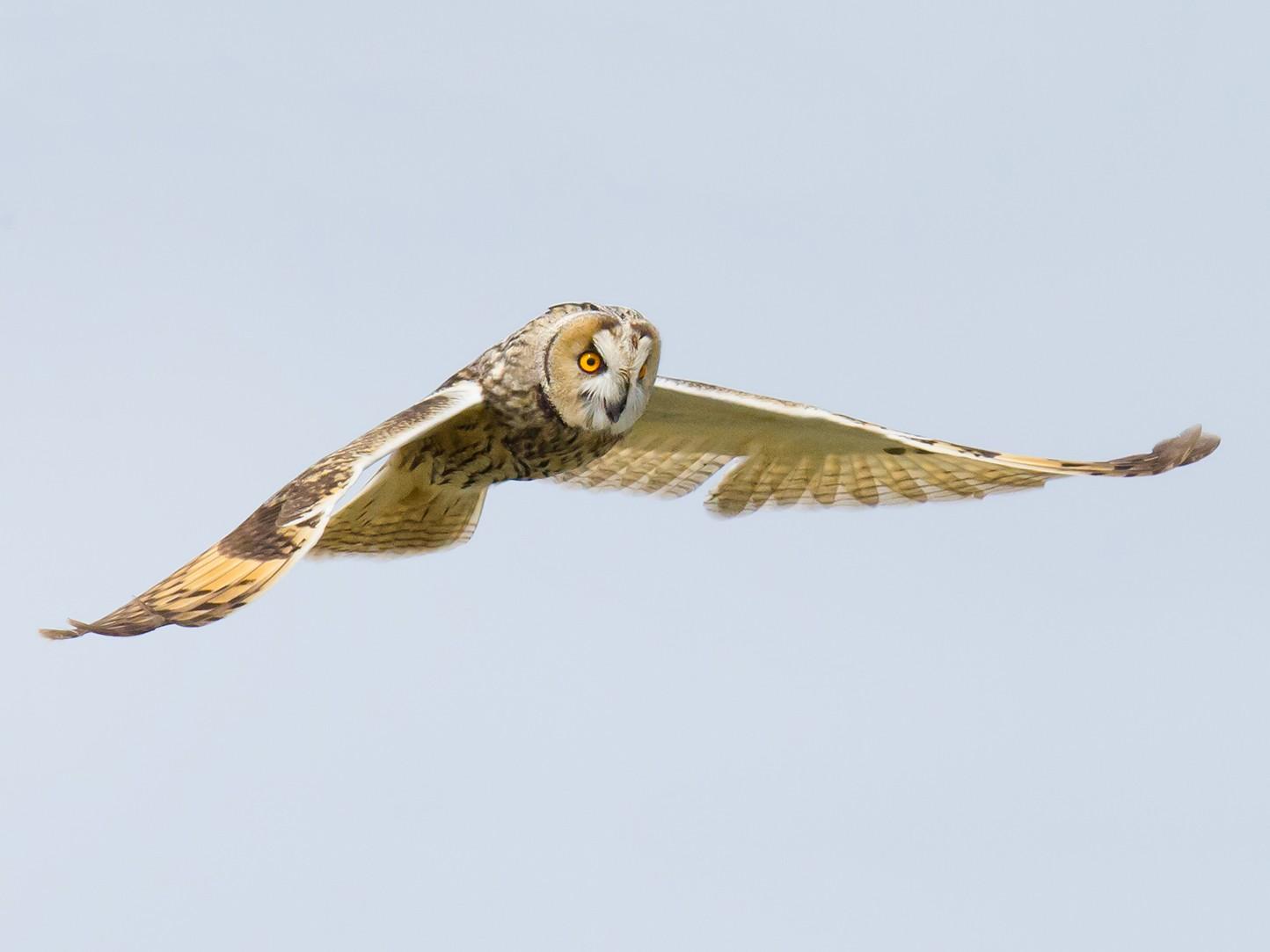 Long-eared Owl - Craig Brelsford