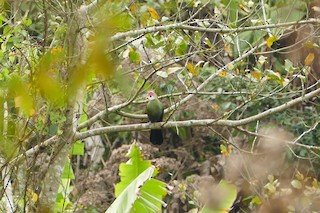 - Red-crested Turaco