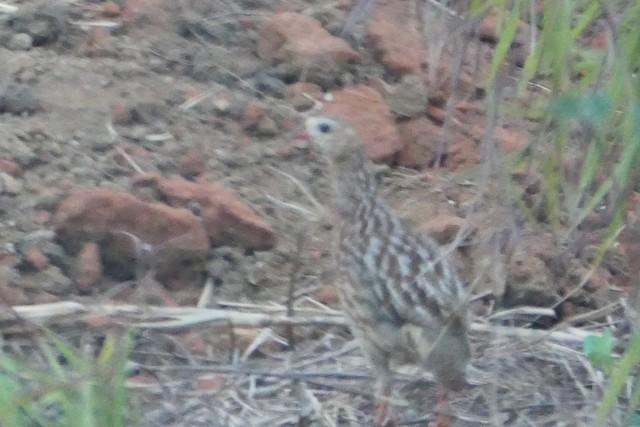 Gray-striped Francolin
