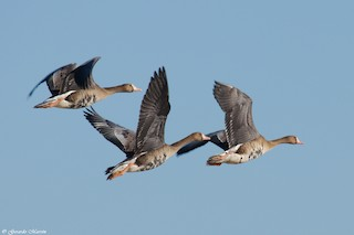 Greater White-fronted Goose, ML71417411