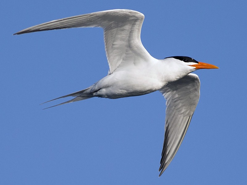Royal Tern - Anonymous eBirder
