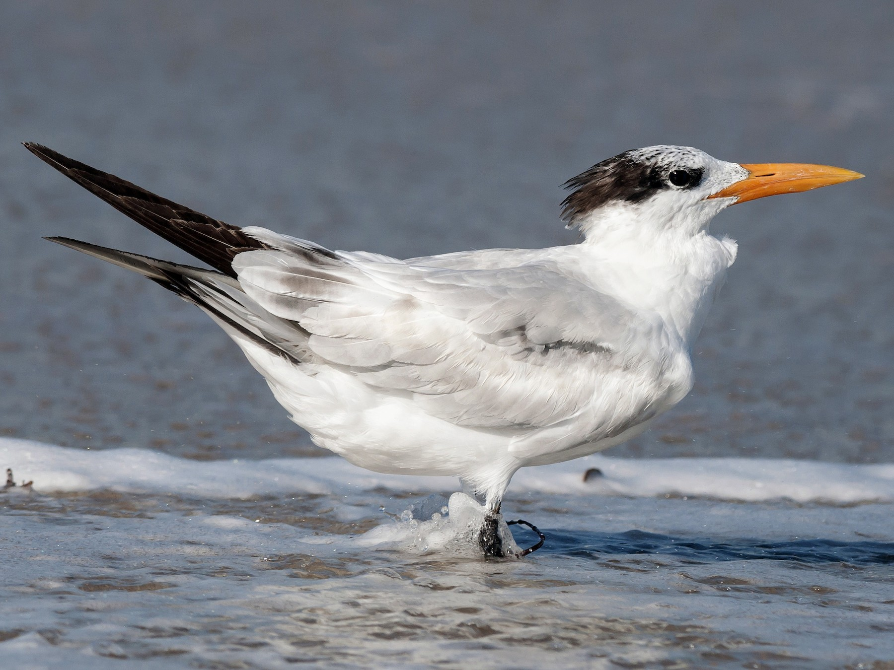 Royal Tern - Etienne Artigau