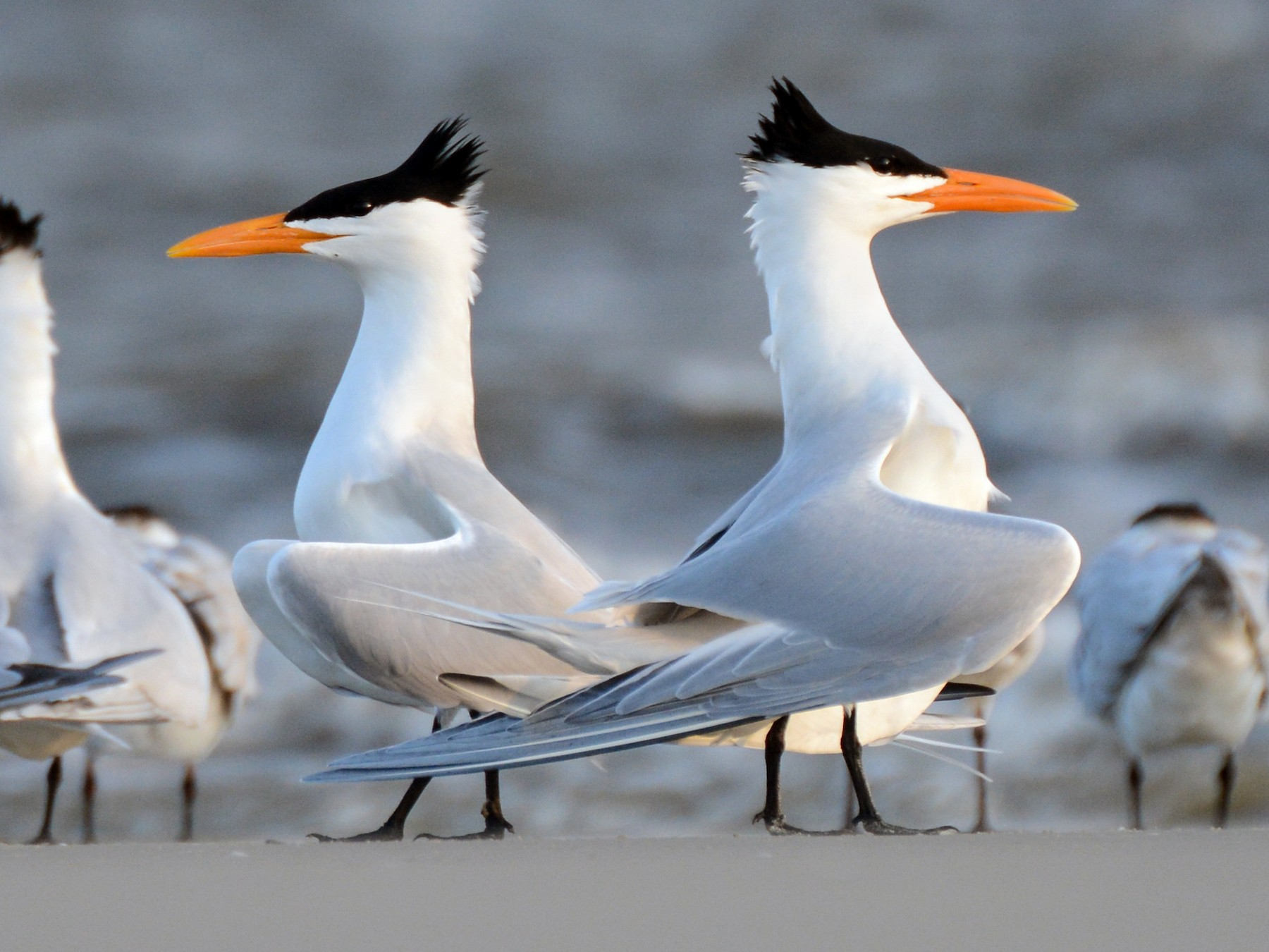 Royal Tern - Patrick Maurice
