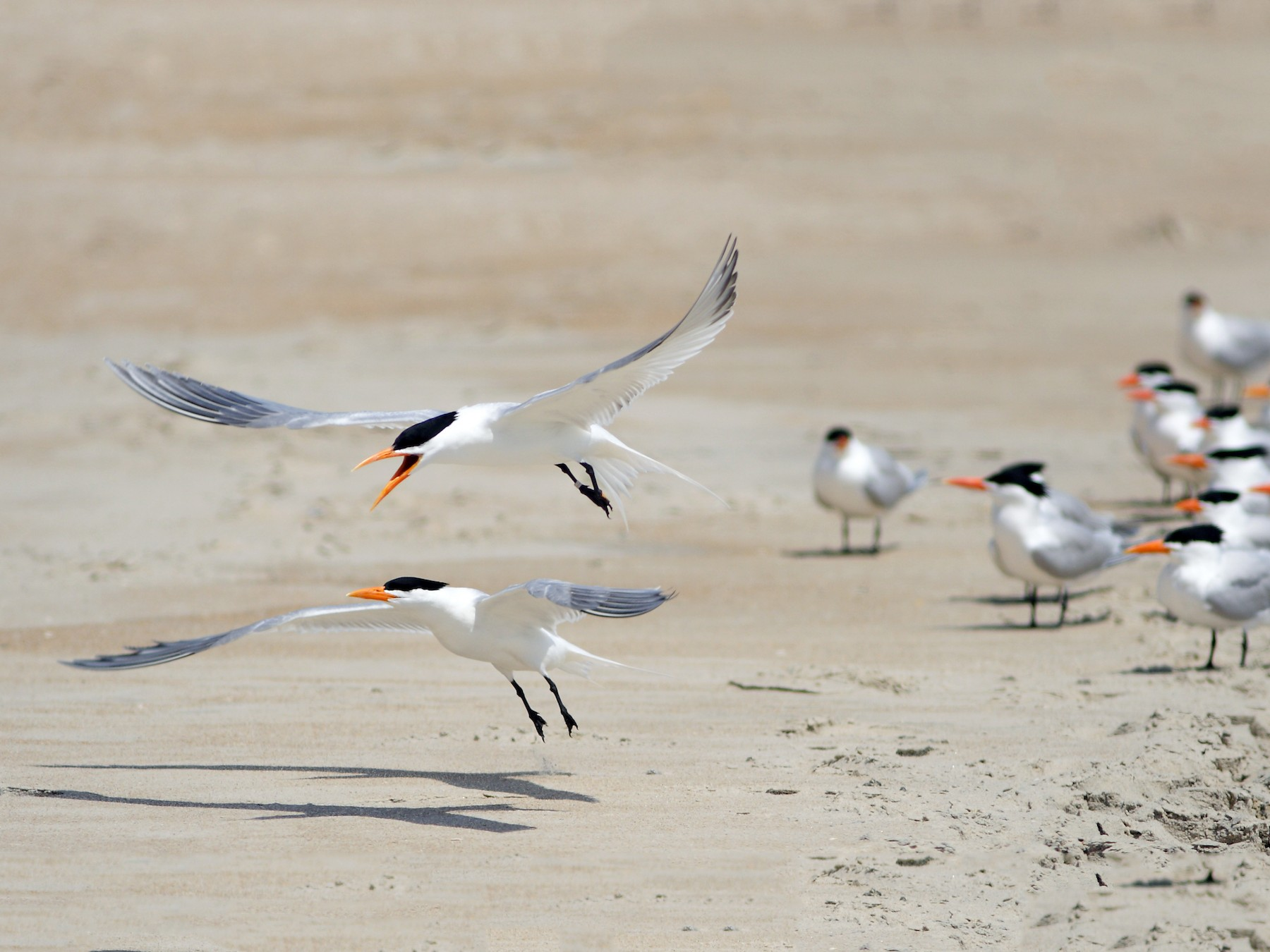 Royal Tern - Dave Spier