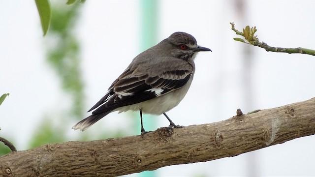 Gray Monjita