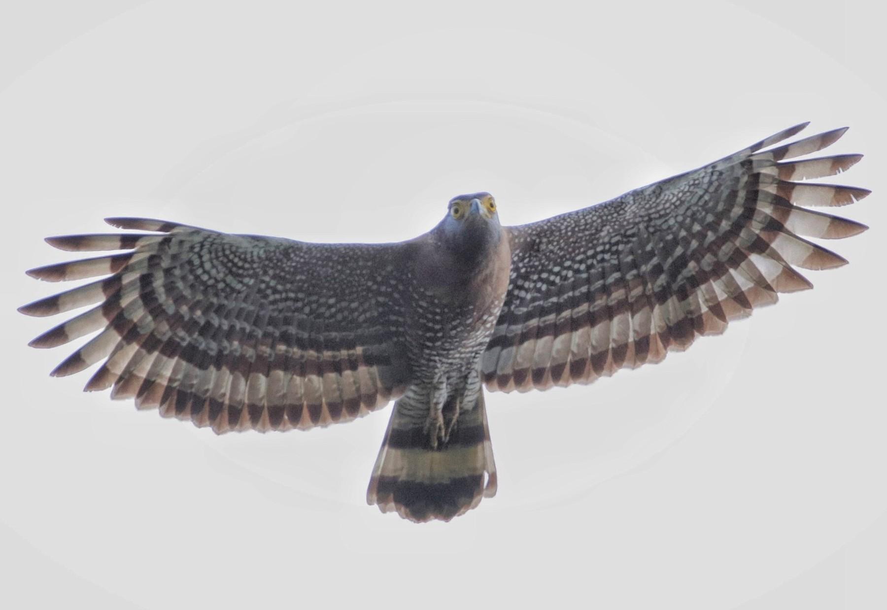 Sulawesi Serpent-Eagle - Siti Sutedjo