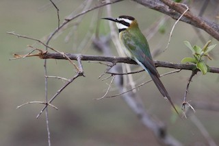 - White-throated Bee-eater