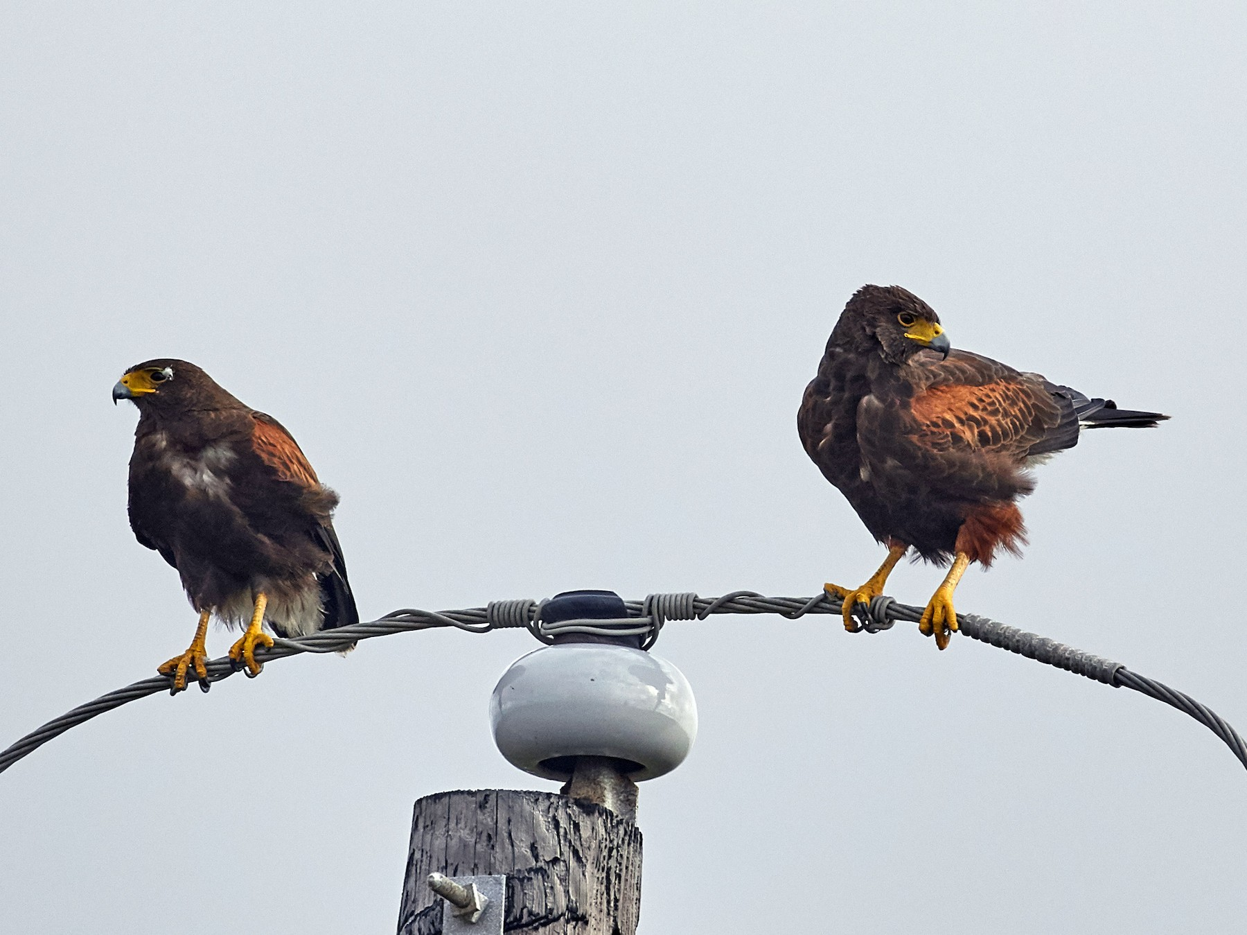 Harris's Hawk - Brooke Miller