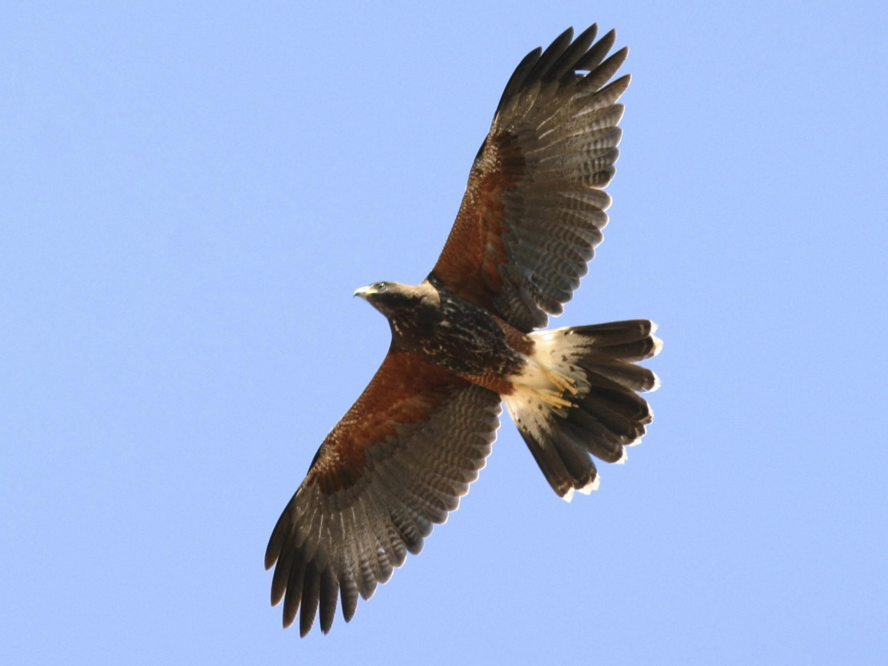Harris's Hawk - Brian Sullivan
