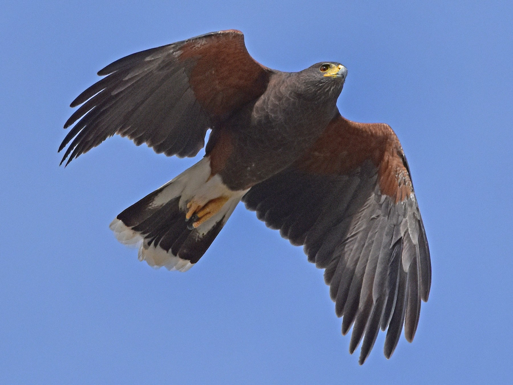 Harris's Hawk - Nate Gowan