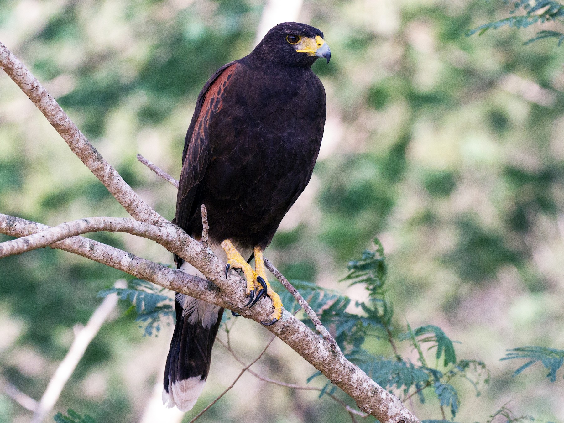 Harris's Hawk - Griffin Richards