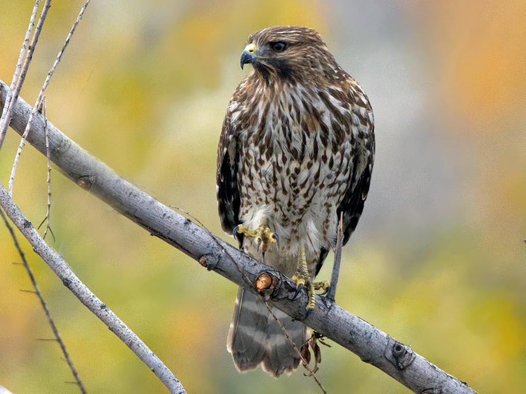 Red-shouldered Hawk - Judi Hwa