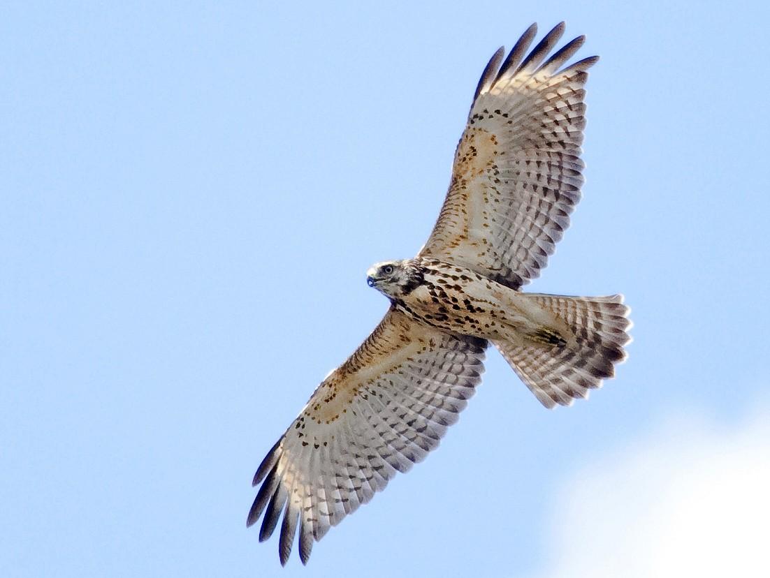 Red-shouldered Hawk - Gordon Dimmig