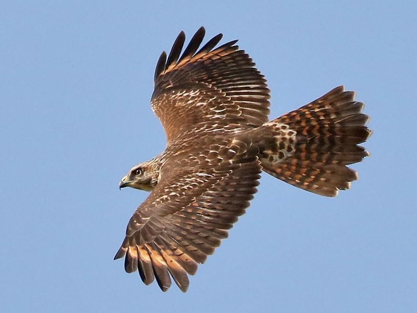 Red-shouldered Hawk - Michel Juteau
