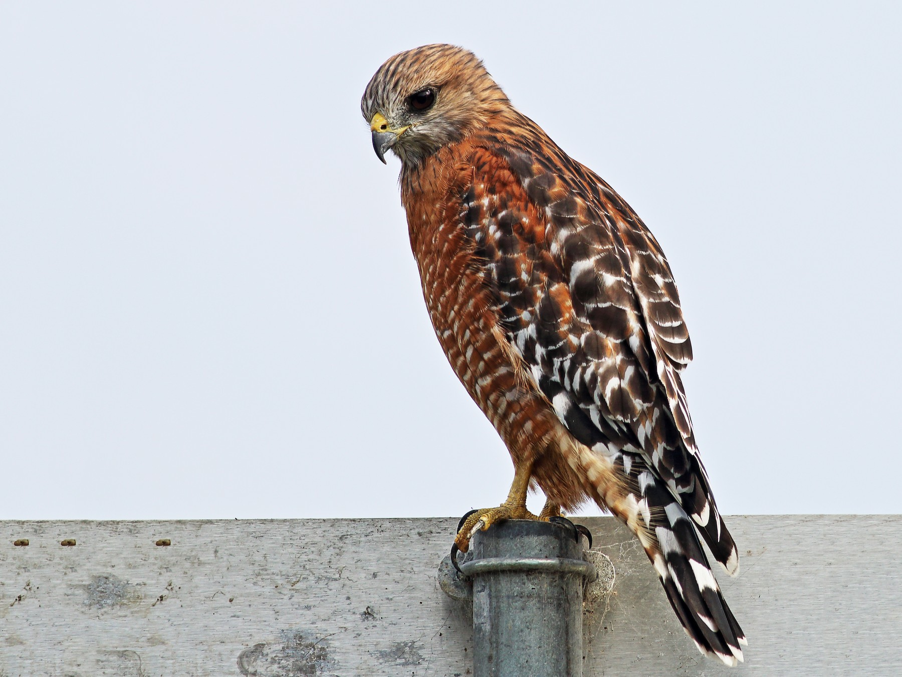 Red-shouldered Hawk - Paul Fenwick