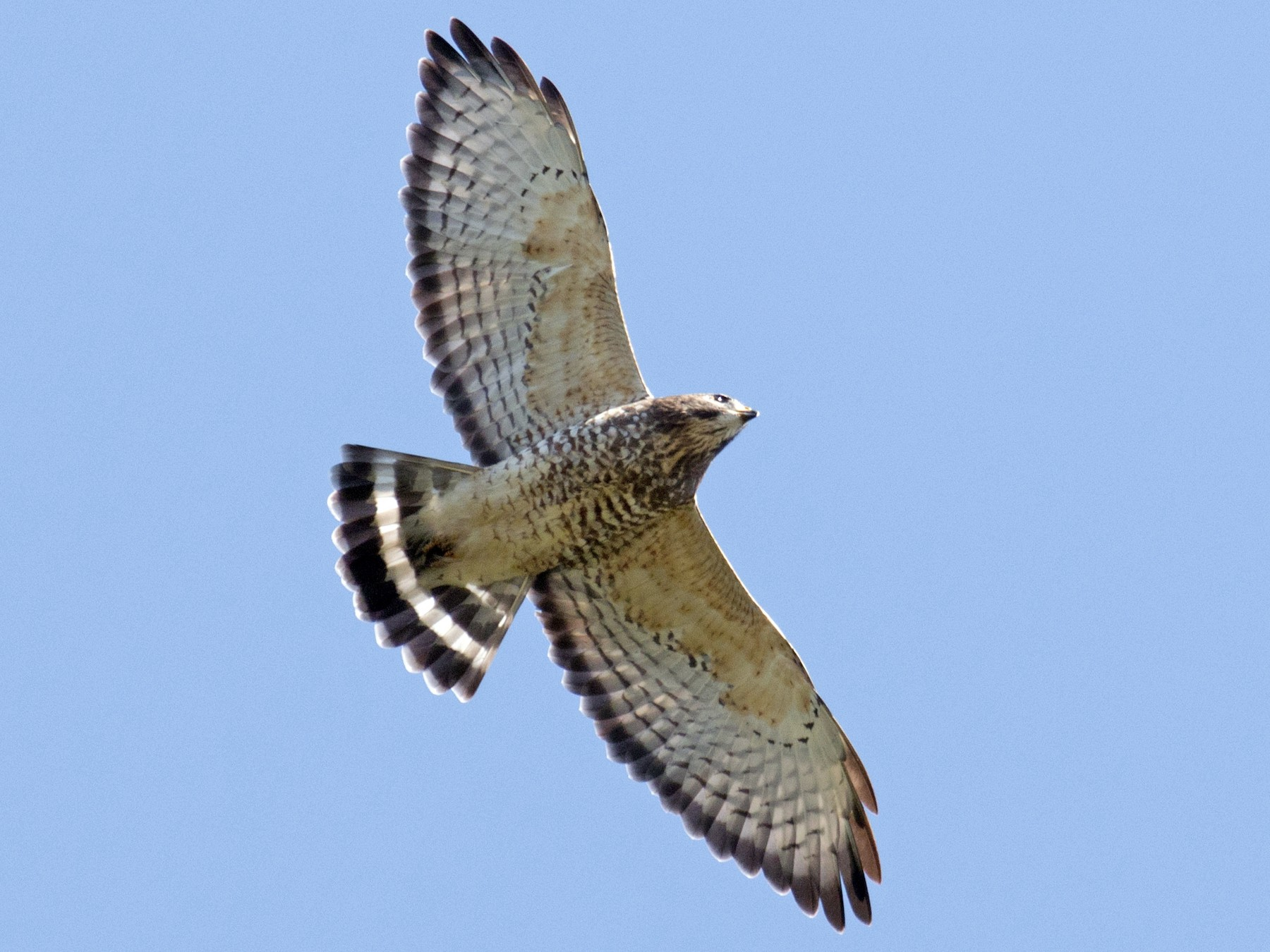 Broad-winged Hawk - David Brown