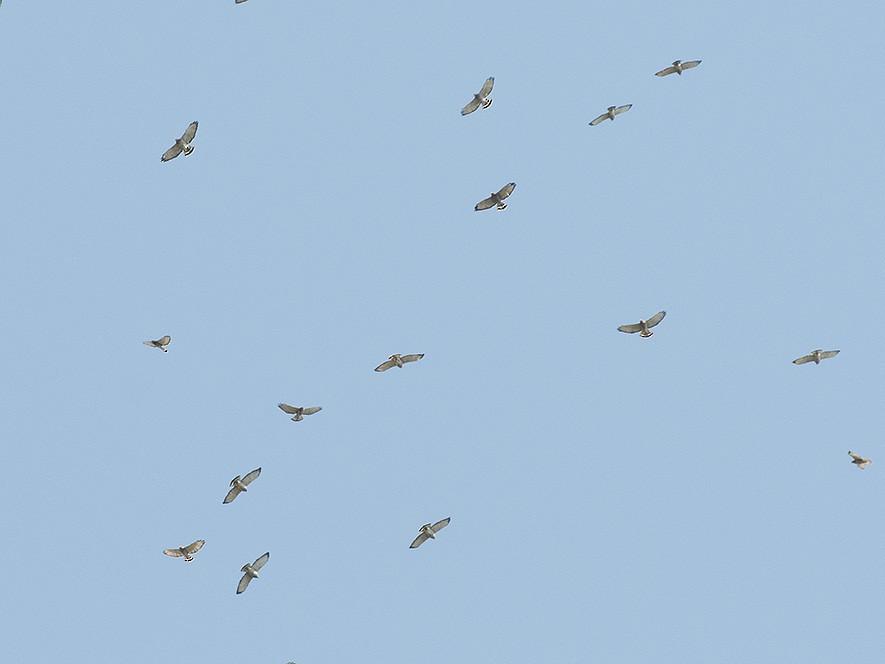 Broad-winged Hawk - LG Pr