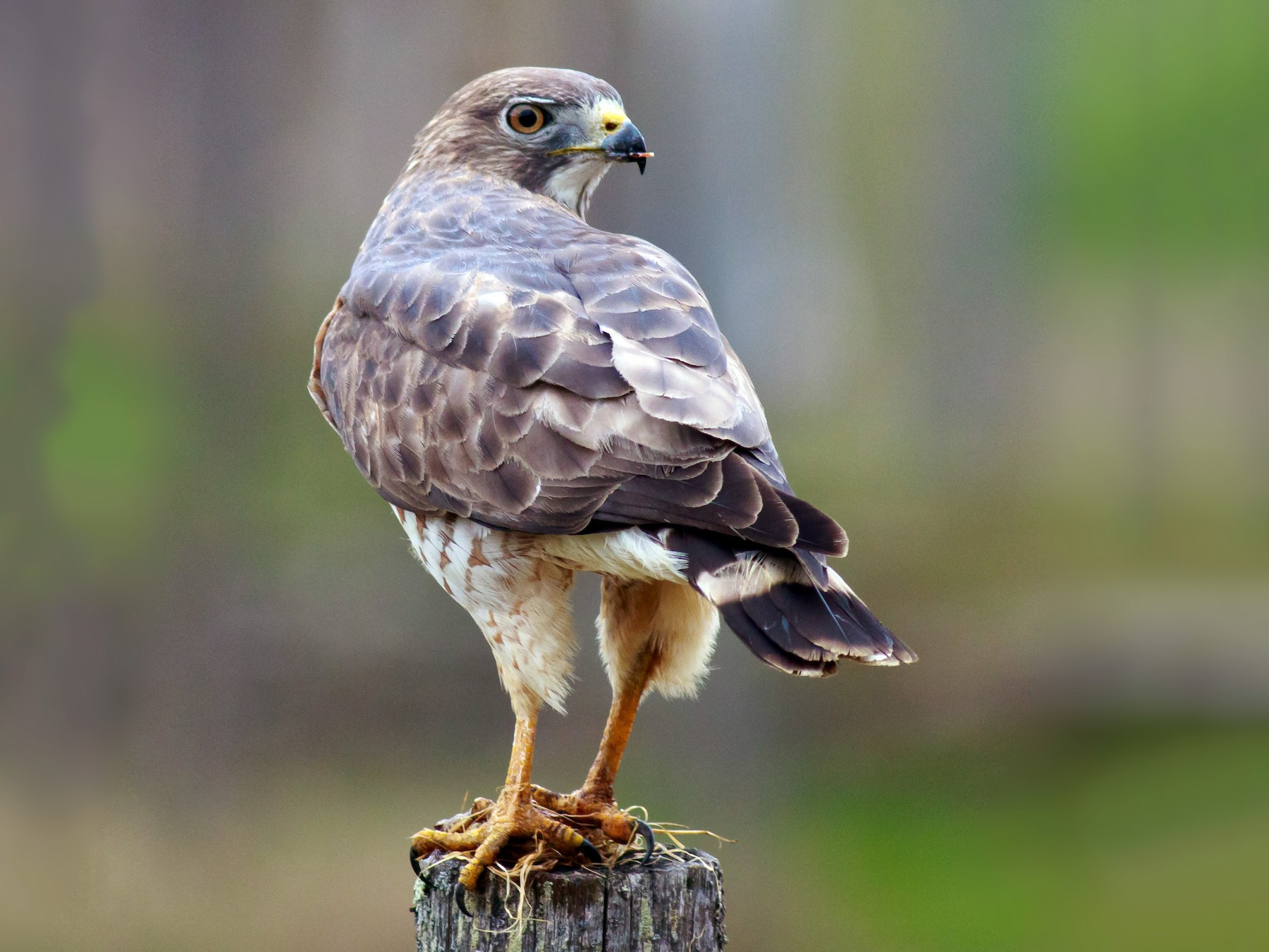 Broad-winged Hawk - Andrew Aldrich