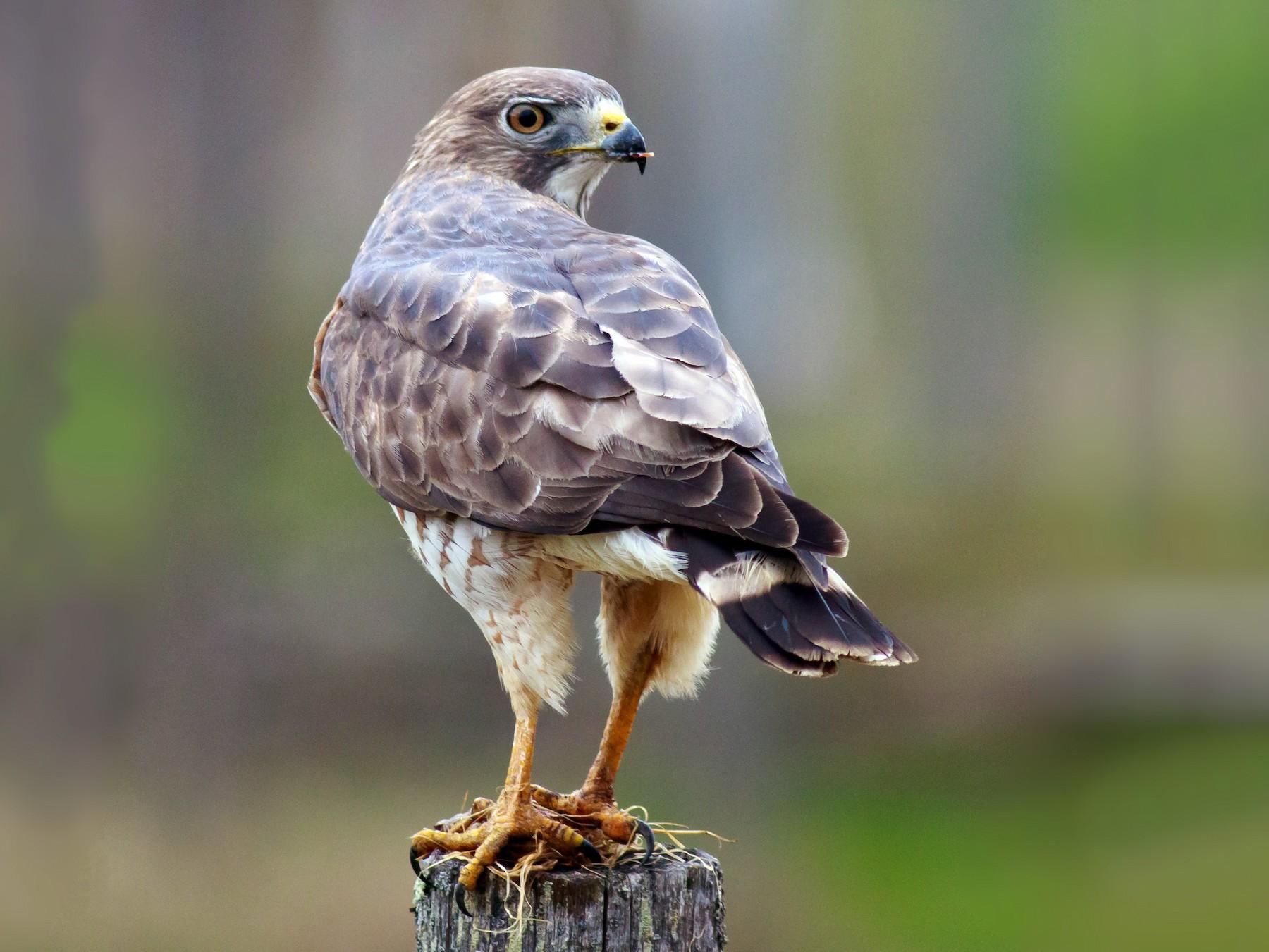 Broad-winged Hawk - andrew aldrich