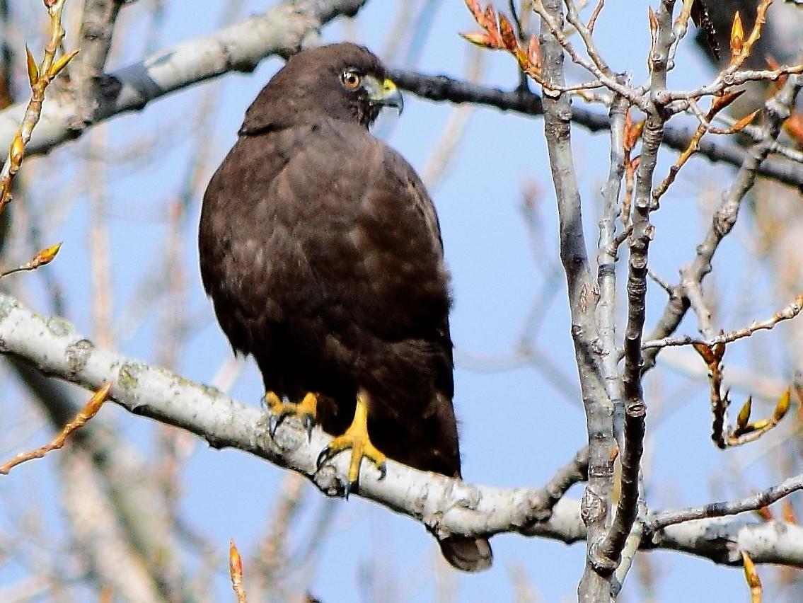Broad-winged Hawk - Garrett  Wee